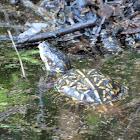 Florida box tortoise