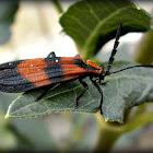 Banded Net-wing Beetle.