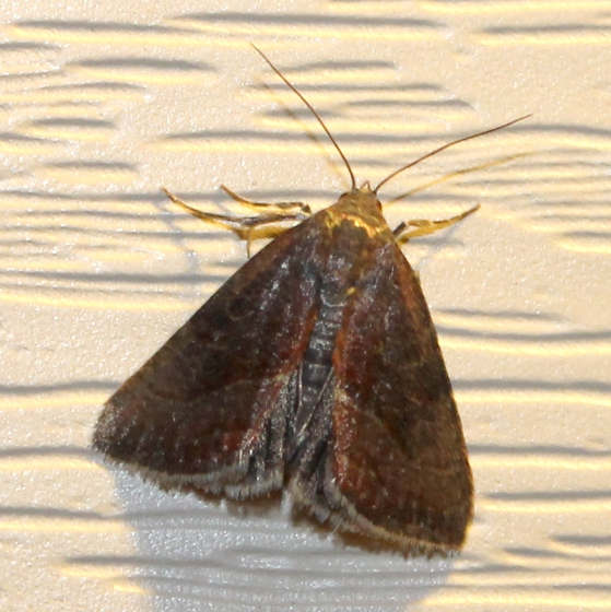 The Wedgling Moth