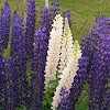 South American Lupine