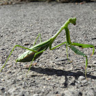 Pray Mantis