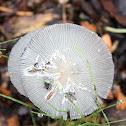 Ink Cap Mushroom