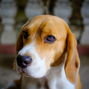 The Beagle by Israel  Padolina - Animals - Dogs Portraits ( dog beagle pet petdog animal portrait )