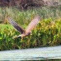 Northern Harrier (juvenile)