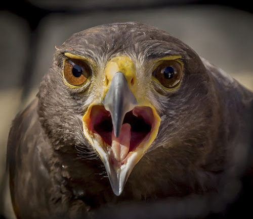 Harris by Gordon Bishop - Animals Birds ( carnivorous, illustration, stare, sports, angry, feather, eyes, close, predator, ornithology, nature, animal head, power, raptor, falconry, head, black, eye, wild, isolated, wing, bird of prey, symbol, majestic, white, prey, team, powerful, portrait, hawk, fly, hunting, endangered, killer, feathered, natural, face, mascot, bill, one, hawking, wildlife, predatory, carnivore, vector, fierce, aggressive, closeup, animal, icon, species, sharp, avian, predation, beautiful, plumage, sport, feathers, dangerous, close up, close-up, up, bird, hunter, flight, outdoor, beak, brown, birds eye,  )
