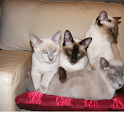 Cabbo Tonkinese Cattery logo