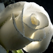 White Rose Free Live Wallpaper
