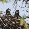 BALD EAGLE (Eaglet)
