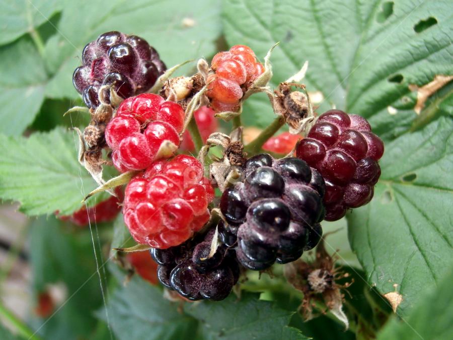 Waiting all year for these by Jen Rhora - Food & Drink Fruits & Vegetables ( fruit, bush, huckleberries, blackberries, berries,  )