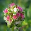 Small Burnet blossom