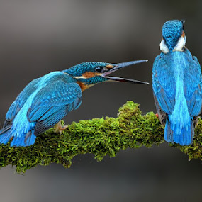 Courtship by Raj Dhage - Animals Birds ( nikon d7000 )