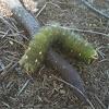 Imperial Moth Caterpillar