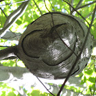 Bald-faced Hornet Nest