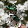 Blue-green Scarabs