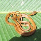Western Tree Snake