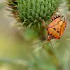 Orange Shield Bug