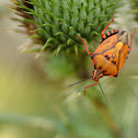 Orange Shield Bug