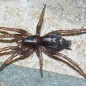 Eastern Parson Spider (female)