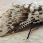 Podalia Moth