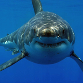 White Shark HD Video Wallpaper
