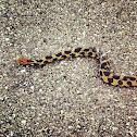 Eastren  fox snake