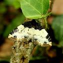 White-ribboned Carpet Moth
