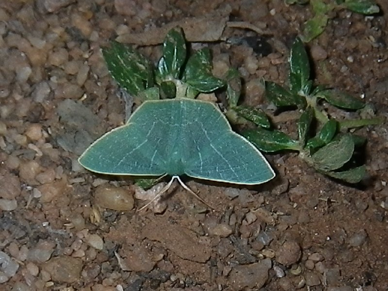 Moth emerald (Subfamily Geometrinae - Emeralds)