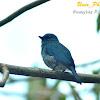 Island Verditer-flycatcher