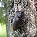 Stag beetle(female)
