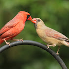 Northern cardinals, courting