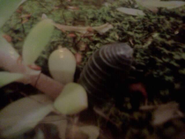 Pill bug aka rolly polly