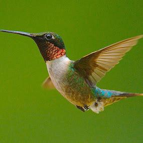 Hummmmm Dinger by Roy Walter - Animals Birds ( wild, flight, animals, nature, hummingbird, feathers, birds )