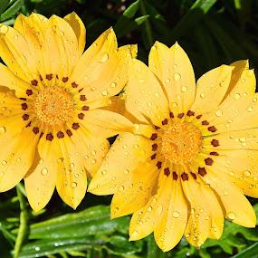Double Your Pleasure by Ed Hanson - Flowers Flower Gardens ( garden., yellow, flowers )