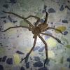Giant Crab Spider  (or) Huntsman Spider