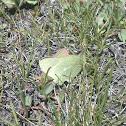 Behr's Sulphur Butterfly