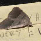 Petrophora Moth