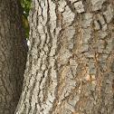 Corteza del Árbol de Jacaranda