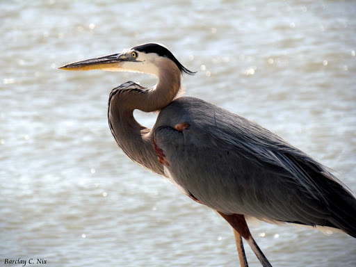 A Great Blue Heron near Galveston Bay, Texas.