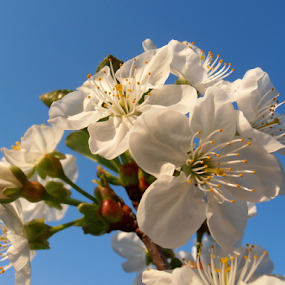 Cherry blossoms by Snezana Petrovic - Flowers Tree Blossoms ( stamens, colorful, petals, white, yellow, spring, blossoms, soft, pure, cherry, macro, nature, snezana petrovic, horizontal, trees,  )