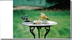 Robins on Feeder