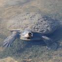 Kreft's Short-necked Turtle