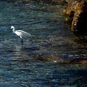 Garza blanca intermedia
