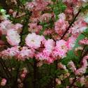 Spring Cherry, Higan cherry, or Rosebud cherry