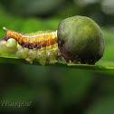 Nolid caterpillar