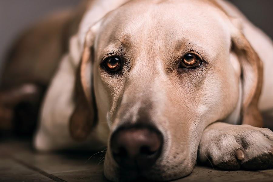Fire Eyes by Mason Bletscher - Animals - Dogs Portraits ( labrador retriever, animals, dogs, pet, pets, puppy, labrador, portraits, dog, lab,  )