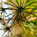 Blister bush