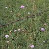 Field Scabious