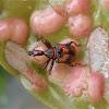 Leaf-rolling Weevil
