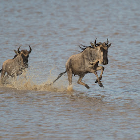 Running wildebeests by Trond Braadland - Animals Other Mammals ( gnu, wildebeest, ndutu, tanzania, connochaetes taurinus )