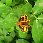 Skipper Butterfly on Arachis pintoi